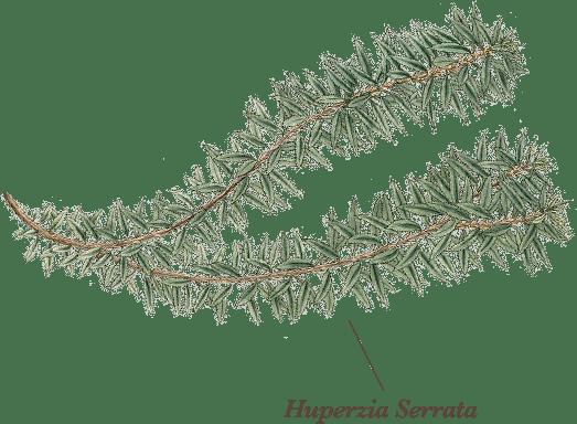 Huperzia Serrata